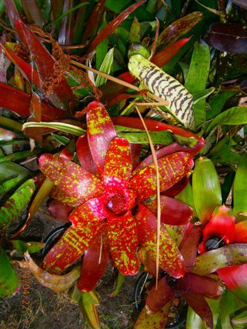 bromeliads galore